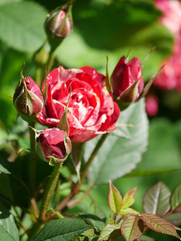 ジジ(Gigi)の花が咲いた。ミニバラ。2021年-006.jpg