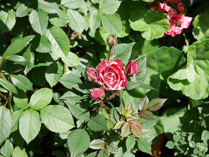 ジジ(Gigi)の花が咲いた。ミニバラ。2021年-013.jpg