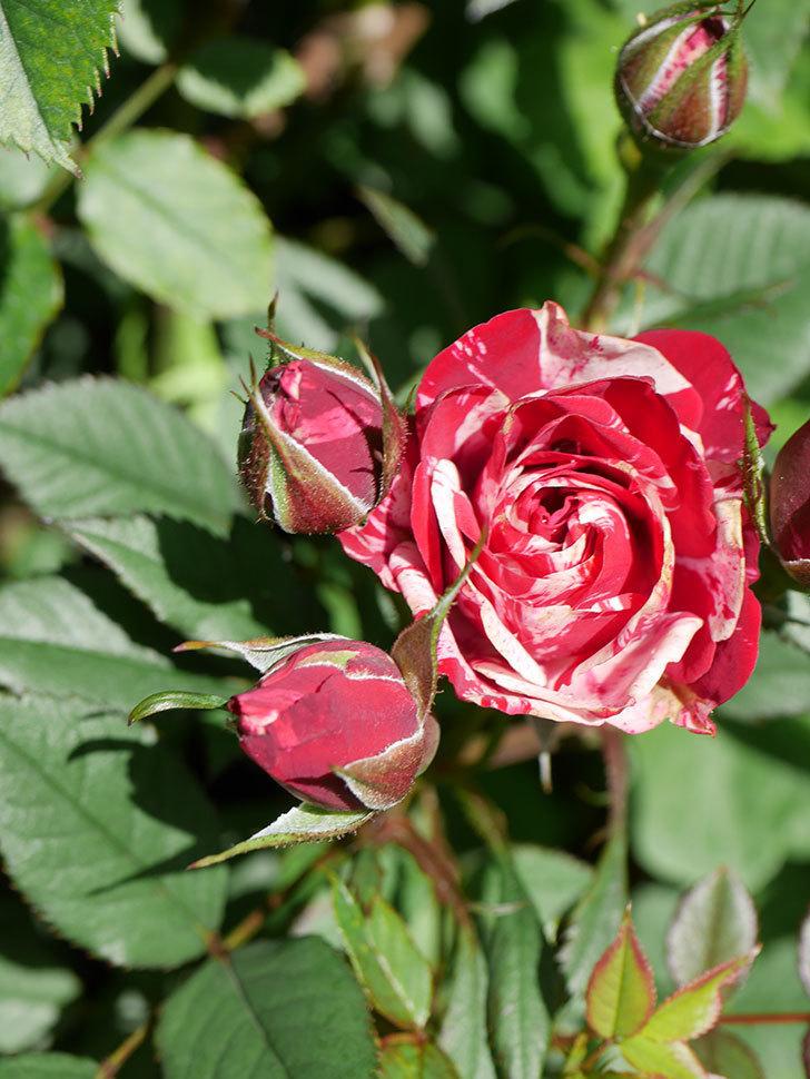 ジジ(Gigi)の花が咲いた。ミニバラ。2021年-019.jpg