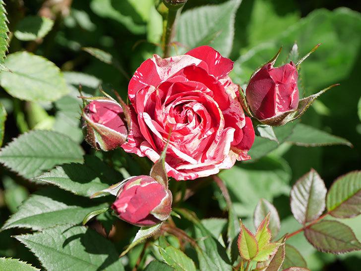 ジジ(Gigi)の花が咲いた。ミニバラ。2021年-020.jpg