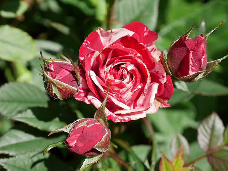 ジジ(Gigi)の花が咲いた。ミニバラ。2021年-021.jpg
