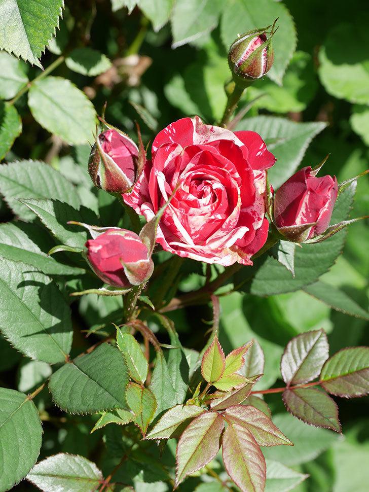 ジジ(Gigi)の花が咲いた。ミニバラ。2021年-025.jpg