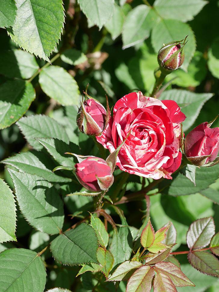 ジジ(Gigi)の花が咲いた。ミニバラ。2021年-026.jpg