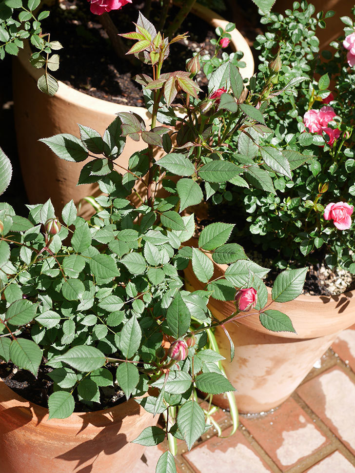 ジジ(Gigi)の花が咲いた。ミニバラ。2021年-027.jpg