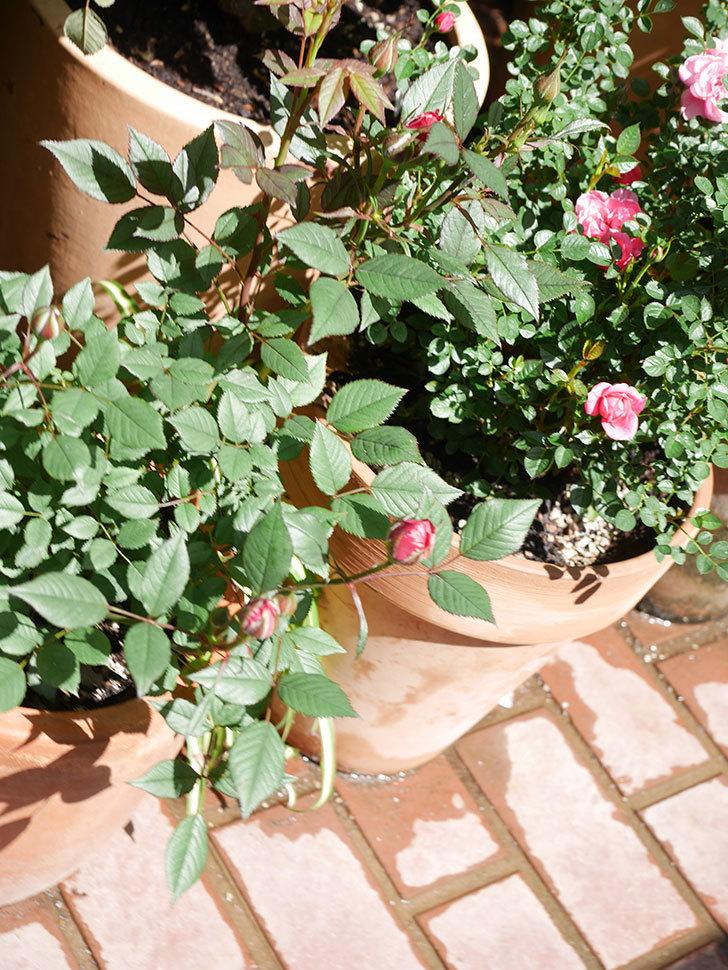 ジジ(Gigi)の花が咲いた。ミニバラ。2021年-028.jpg