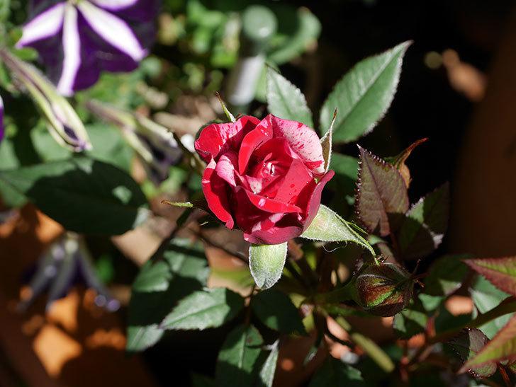 ジジ(Gigi)の花が咲いた。ミニバラ。2021年-029.jpg