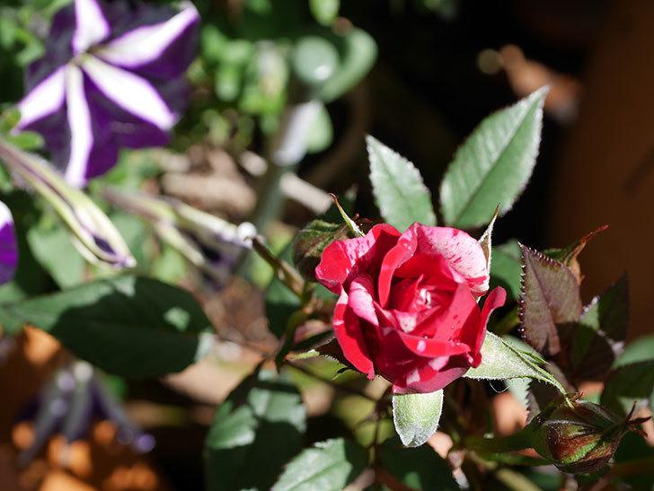 ジジ(Gigi)の花が咲いた。ミニバラ。2021年-030.jpg