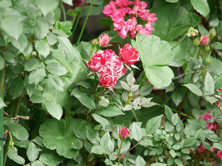 ジジ(Gigi)の花が増えてきた。ミニバラ。2021年-001.jpg