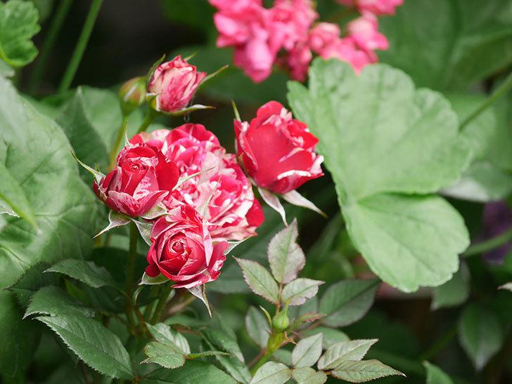 ジジ(Gigi)の花が増えてきた。ミニバラ。2021年-002.jpg