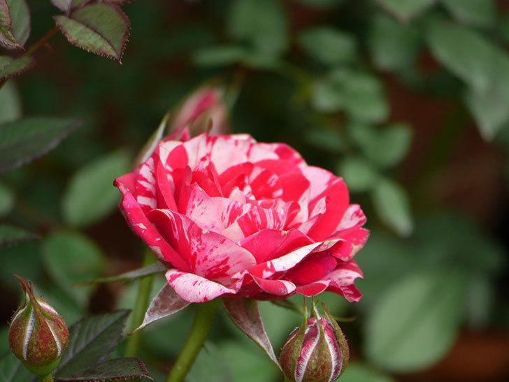 ジジ(Gigi)の花が増えてきた。ミニバラ。2021年-007.jpg