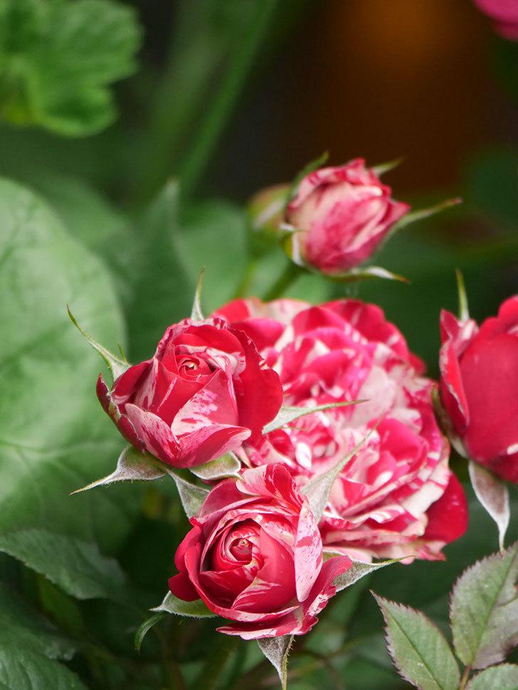 ジジ(Gigi)の花が増えてきた。ミニバラ。2021年-009.jpg
