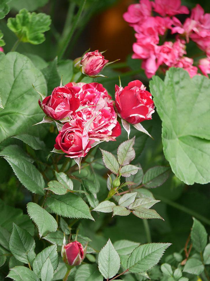 ジジ(Gigi)の花が増えてきた。ミニバラ。2021年-010.jpg