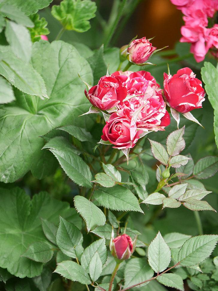 ジジ(Gigi)の花が増えてきた。ミニバラ。2021年-011.jpg