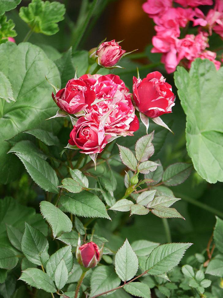 ジジ(Gigi)の花が増えてきた。ミニバラ。2021年-012.jpg