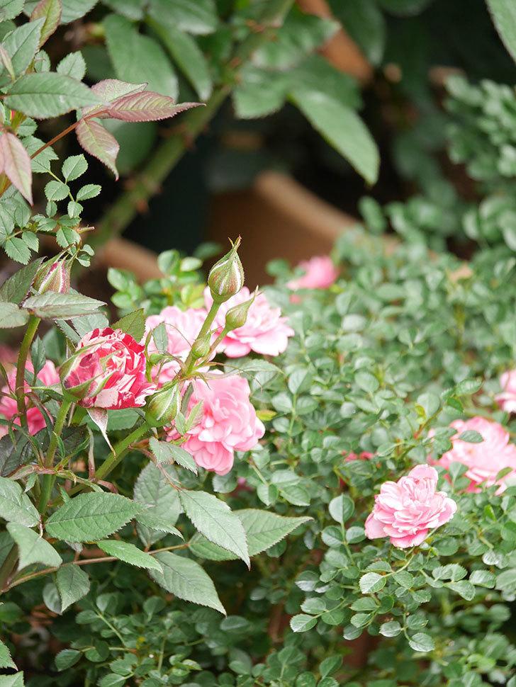 ジジ(Gigi)の花が増えてきた。ミニバラ。2021年-013.jpg