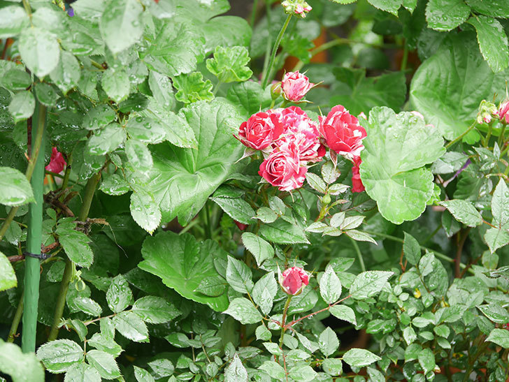 ジジ(Gigi)の花が増えてきた。ミニバラ。2021年-014.jpg