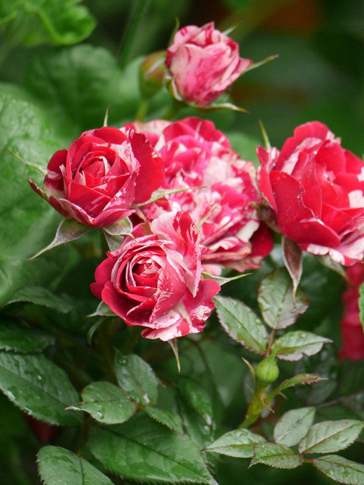 ジジ(Gigi)の花が増えてきた。ミニバラ。2021年-019.jpg