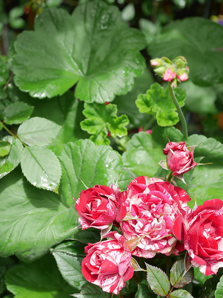 ジジ(Gigi)の花が増えてきた。ミニバラ。2021年-027.jpg