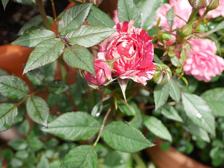 ジジ(Gigi)の花が増えてきた。ミニバラ。2021年-028.jpg
