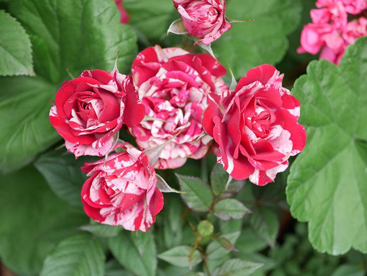 ジジ(Gigi)の花が増えてきた。ミニバラ。2021年-029.jpg