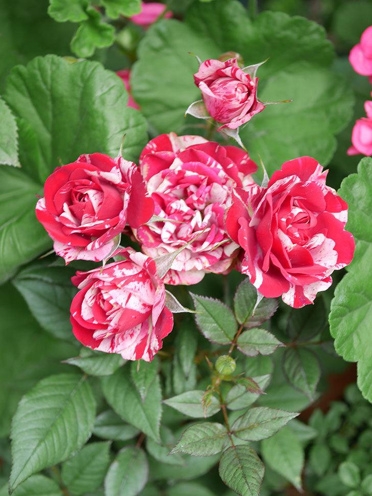 ジジ(Gigi)の花が増えてきた。ミニバラ。2021年-031.jpg