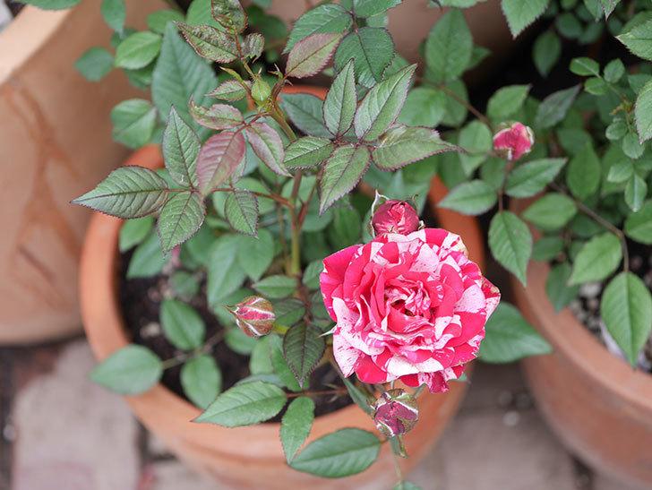 ジジ(Gigi)の花が増えてきた。ミニバラ。2021年-032.jpg