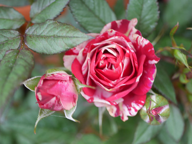 ジジ(Gigi)の花が増えてきた。ミニバラ。2021年-033.jpg