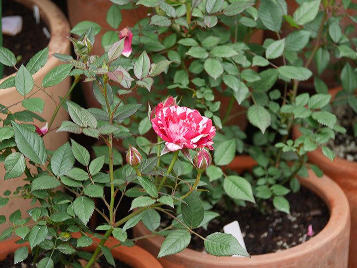ジジ(Gigi)の花が増えてきた。ミニバラ。2021年-034.jpg