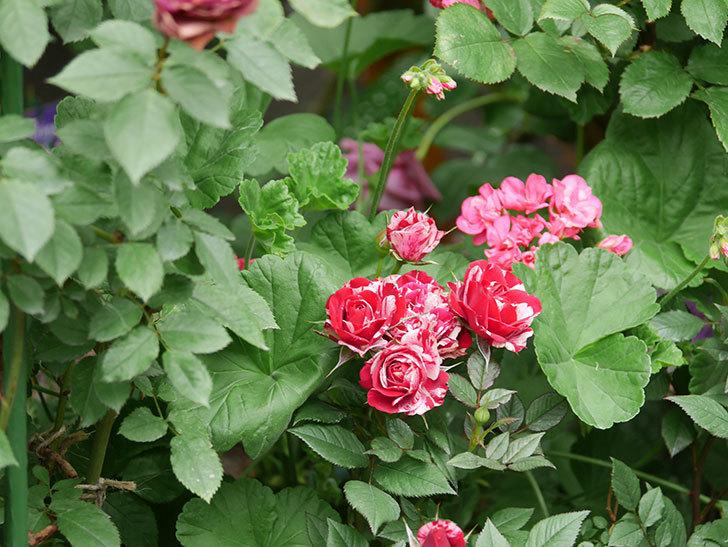 ジジ(Gigi)の花が増えてきた。ミニバラ。2021年-035.jpg