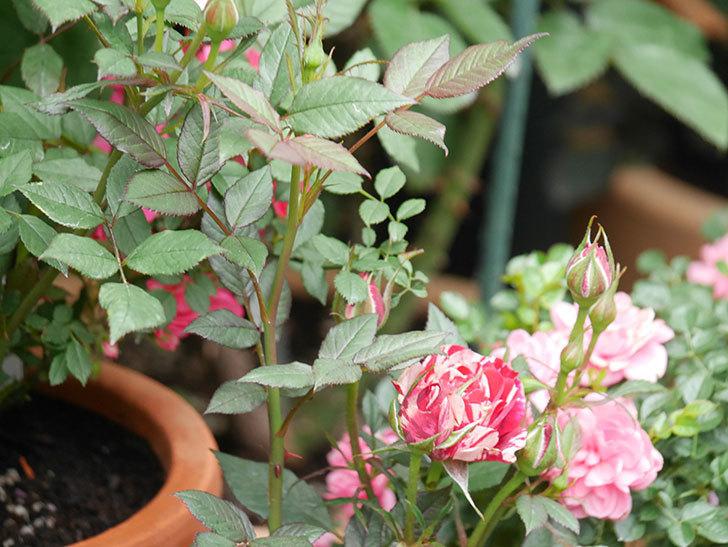 ジジ(Gigi)の花が増えてきた。ミニバラ。2021年-038.jpg
