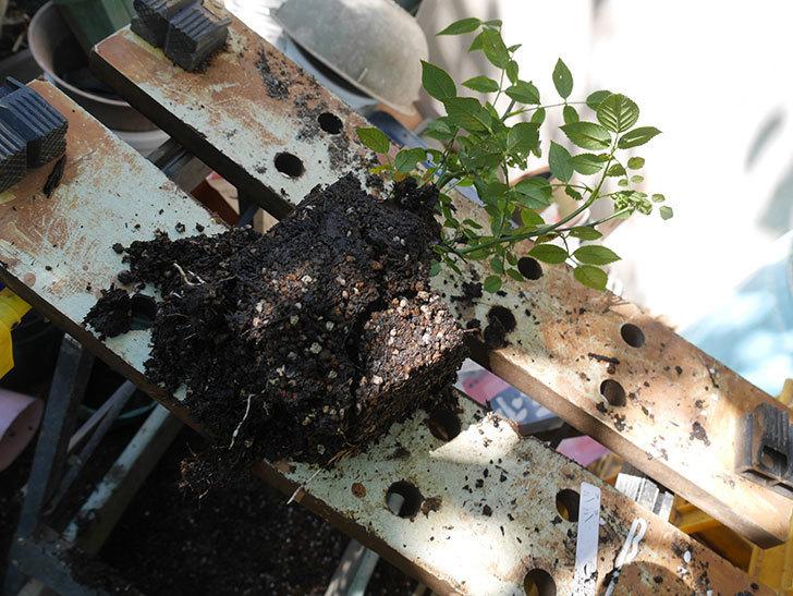ジジ(Gigi)を一回り大きい鉢に植え替えた。ミニバラ。2020年-001.jpg