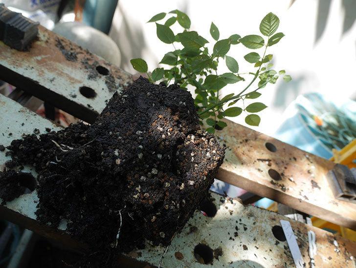 ジジ(Gigi)を一回り大きい鉢に植え替えた。ミニバラ。2020年-002.jpg