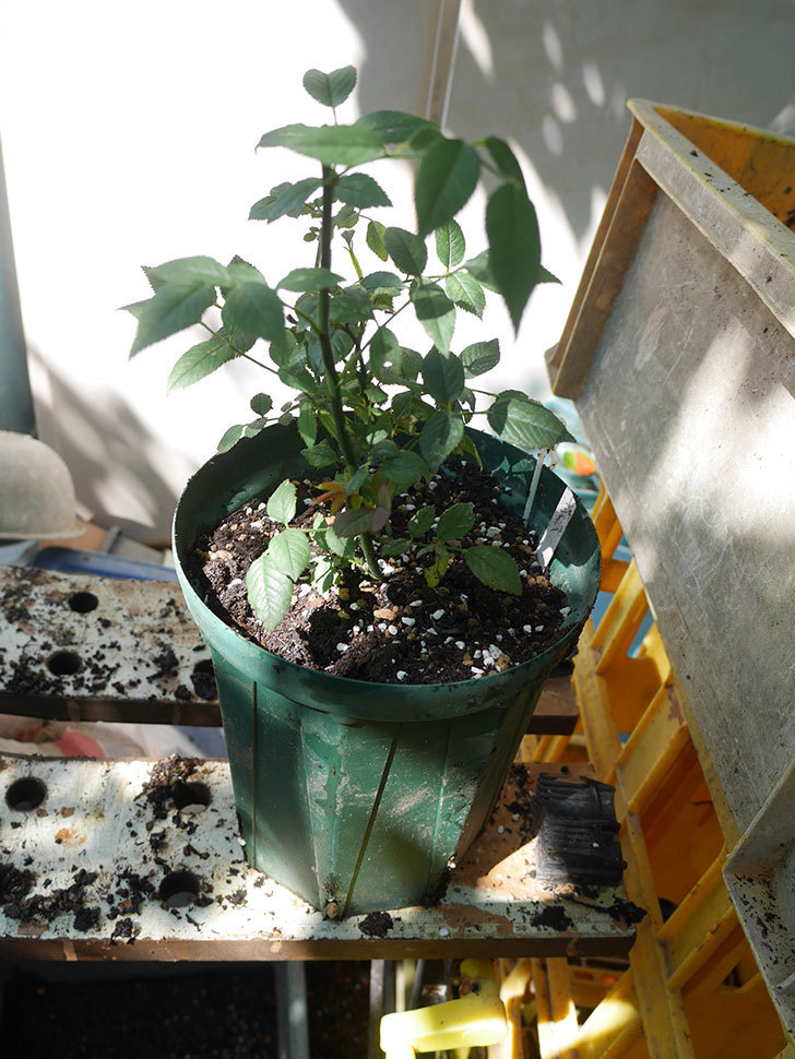 ジジ(Gigi)を一回り大きい鉢に植え替えた。ミニバラ。2020年-003.jpg