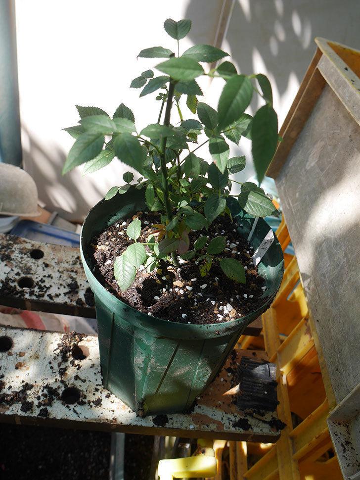 ジジ(Gigi)を一回り大きい鉢に植え替えた。ミニバラ。2020年-005.jpg