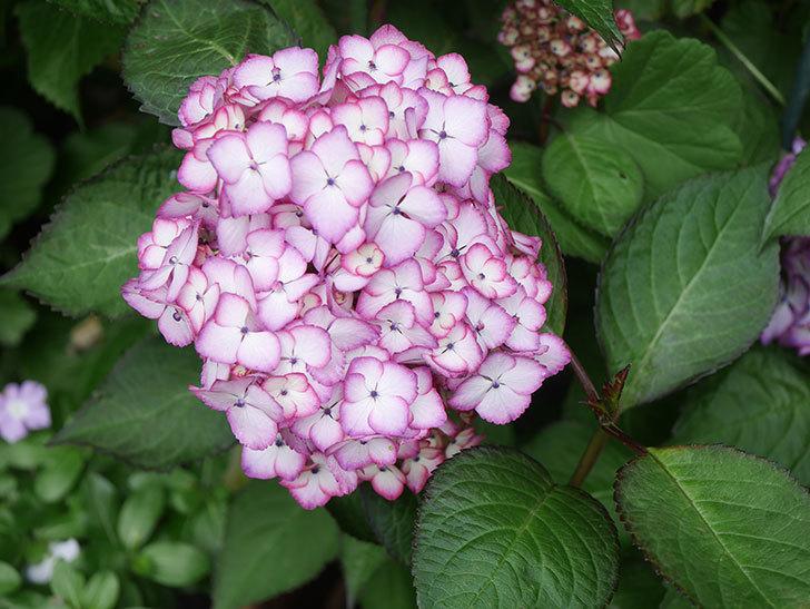 ジャパーニュミカコの花がたくさん咲いた。2021年-001.jpg