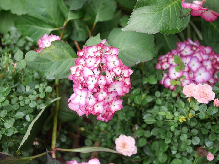 ジャパーニュミカコの花がたくさん咲いた。2021年-003.jpg
