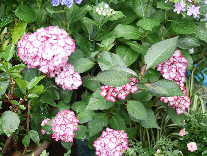 ジャパーニュミカコの花がたくさん咲いた。2021年-011.jpg