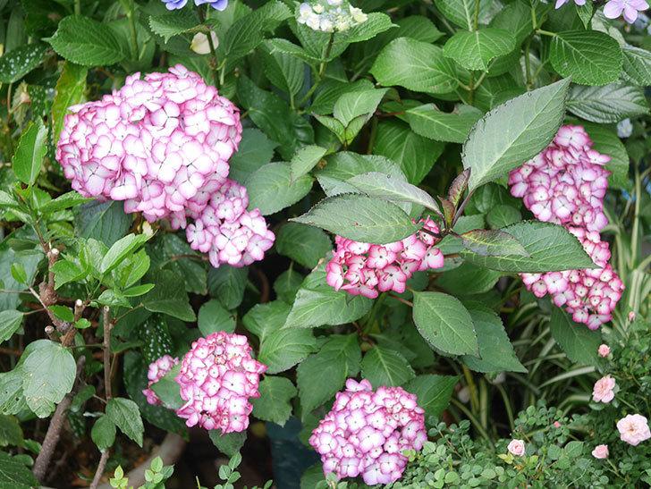 ジャパーニュミカコの花がたくさん咲いた。2021年-017.jpg
