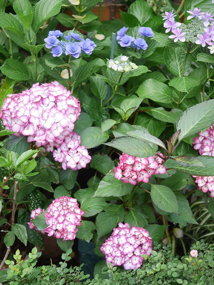 ジャパーニュミカコの花がたくさん咲いた。2021年-018.jpg