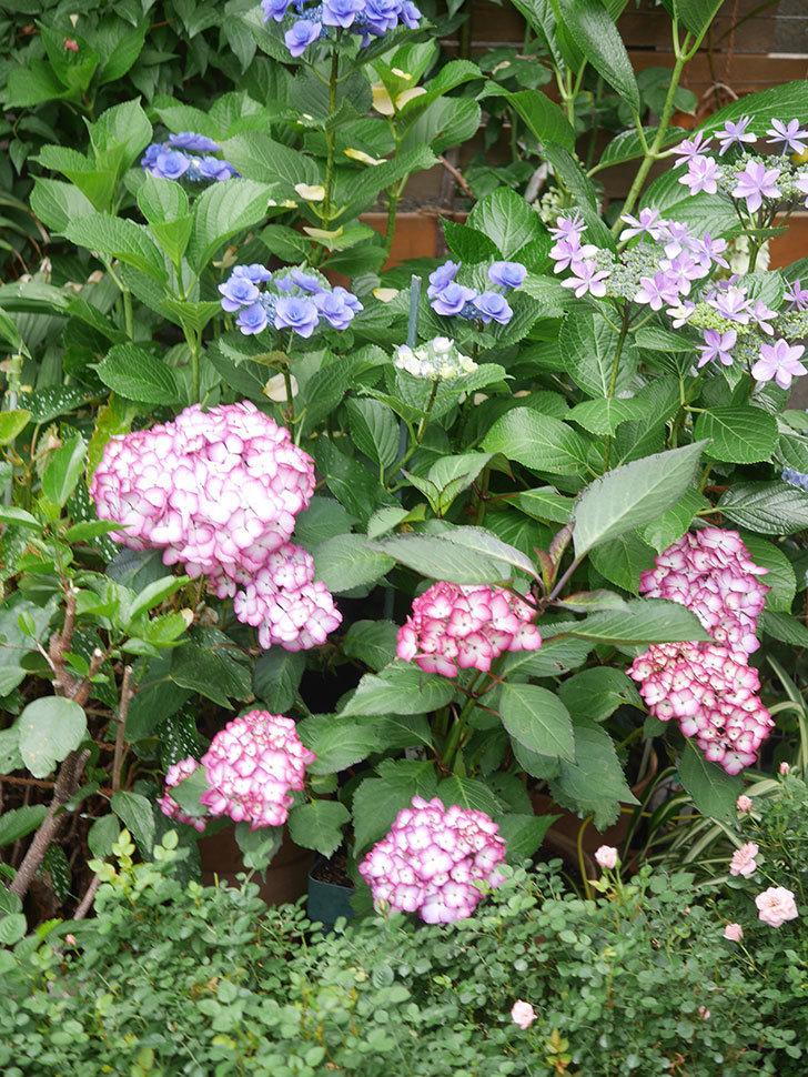 ジャパーニュミカコの花がたくさん咲いた。2021年-019.jpg