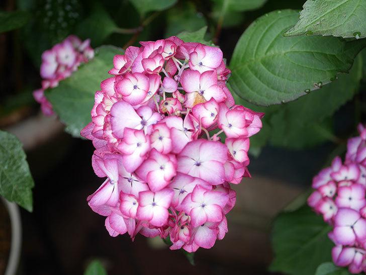 ジャパーニュミカコの花がたくさん咲いた。2021年-021.jpg
