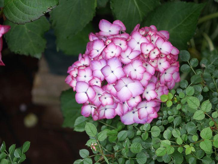 ジャパーニュミカコの花がたくさん咲いた。2021年-022.jpg