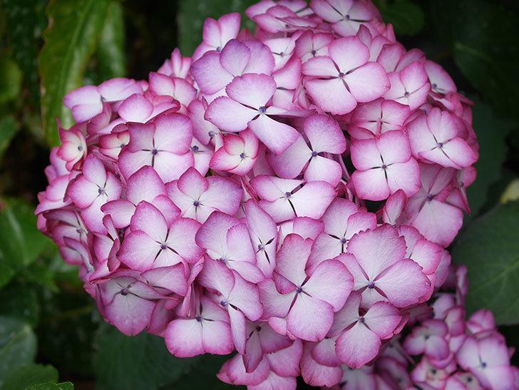 ジャパーニュミカコの花がたくさん咲いた。2021年-023.jpg