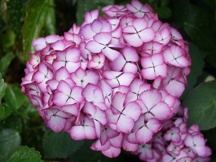 ジャパーニュミカコの花がたくさん咲いた。2021年-024.jpg