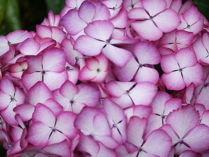 ジャパーニュミカコの花がたくさん咲いた。2021年-025.jpg