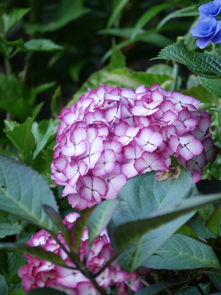 ジャパーニュミカコの花がたくさん咲いた。2021年-026.jpg