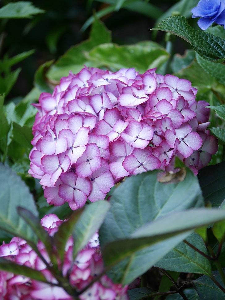 ジャパーニュミカコの花がたくさん咲いた。2021年-029.jpg