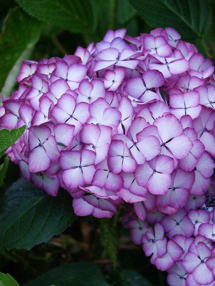 ジャパーニュミカコの花がたくさん咲いた。2021年-032.jpg
