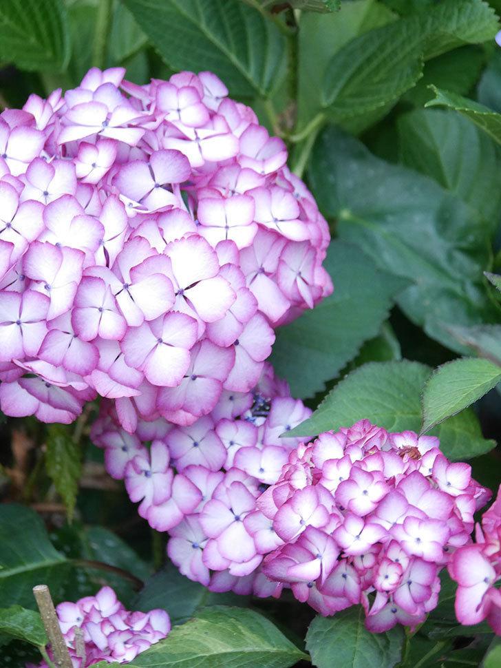 ジャパーニュミカコの花がたくさん咲いた。2021年-033.jpg