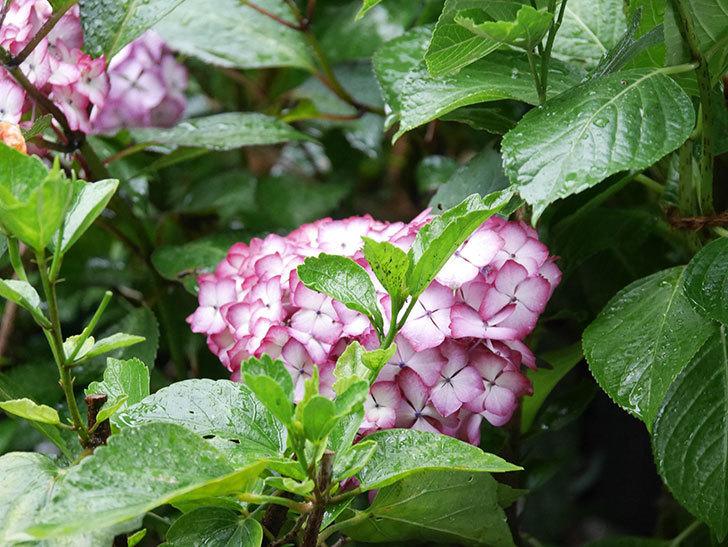 ジャパーニュミカコの花がたくさん咲いた。2021年-034.jpg
